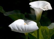 Lillies brancos gigantes Imagem de Stock