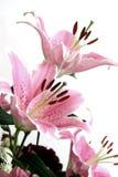 Lillies cor-de-rosa Fotografia de Stock Royalty Free