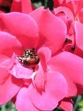 Lillies cor-de-rosa bonitos do dia fotografia de stock royalty free