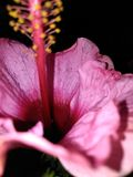 Lillies cor-de-rosa bonitos do dia foto de stock royalty free