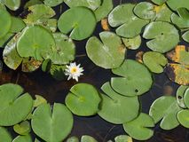 Lillies da sopra Fotografie Stock Libere da Diritti