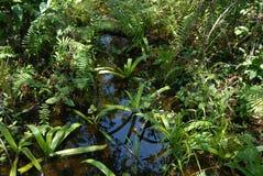 Lillies dans l'eau de marais de marais Photographie stock