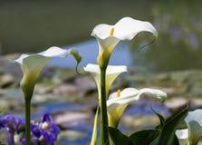 Lillies de Arum, Cala Foto de archivo