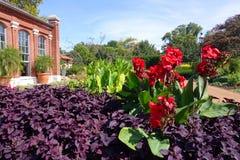 Lillies de Canna que dominam o gardenscape Imagens de Stock Royalty Free