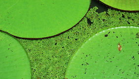 Lillies de l'eau Photos libres de droits