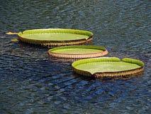 Lillies del agua Fotografía de archivo
