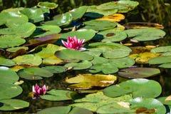 lillies del agua en la charca Fotos de archivo libres de regalías