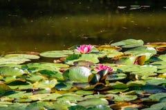 lillies del agua en la charca Foto de archivo libre de regalías
