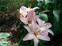 Lillies del giardino Immagine Stock Libera da Diritti