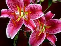 Lillies del Stargazer Fotos de archivo