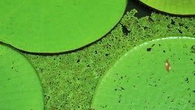 Lillies dell'acqua Fotografie Stock Libere da Diritti