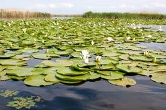 Lillies dell'acqua Fotografie Stock