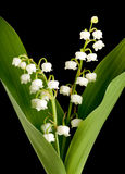 Lillies di Muguet Immagini Stock Libere da Diritti