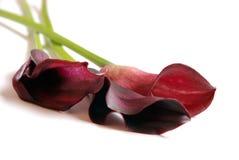 Lillies do Calla foto de stock royalty free