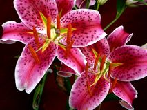 Lillies do Stargazer Fotos de Stock