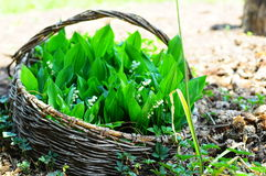 Lillies do vale Fotografia de Stock