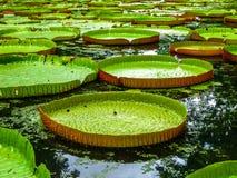Lillies géants Îles Maurice de l'eau photo stock
