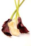 Lillies hermosos de la cala Fotografía de archivo libre de regalías