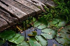 Lillies i ett damm, sjö Royaltyfria Bilder