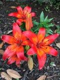 Lillies i minne Arkivfoton