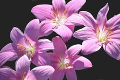 Lillies/Lilie auf schwarzem Hintergrund Stockbilder