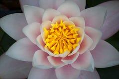 lillies macro woda Zdjęcia Stock