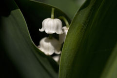 Lillies nella valle Fotografia Stock