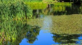 Lillies och gräs i blått vatten Arkivfoto