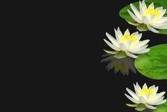 Lillies op vijver Stock Fotografie