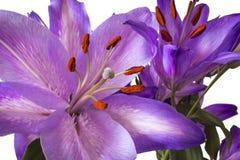 Lillies púrpura imagen de archivo libre de regalías
