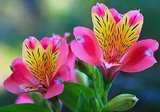 Lillies peruano Imagem de Stock