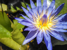 Lillies pourpres de l'eau Photo stock