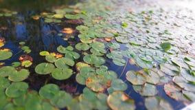 Lillies rêveur Photo stock