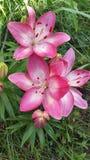 Lillies rosado y blanco del pequeño grupo Foto de archivo libre de regalías