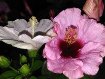 Lillies rosados hermosos del día foto de archivo