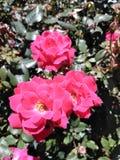 Lillies rosados hermosos del día imagen de archivo libre de regalías