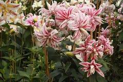 Lillies rosados y blancos Foto de archivo