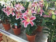 Lillies som är till salu i blommamarknad moscow russia royaltyfri bild