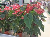 Lillies som är till salu i trädgård, shoppar moscow russia royaltyfri foto