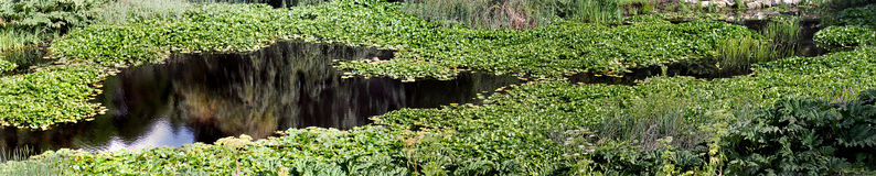 Lillies in un fiume Fotografie Stock