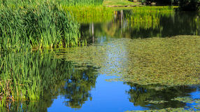 Lillies und Gräser im blauen Wasser Stockfoto