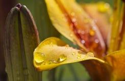 Lillies und Wassertröpfchen Lizenzfreies Stockbild