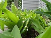 Lillies van de vallei Stock Afbeeldingen