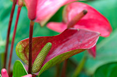 Lillies vibrantes do antúrio Imagens de Stock