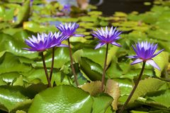 Lillies - Botanic gardens in Singapore. Lillies and Views of botanical gardens in Singapore, Asia stock photos