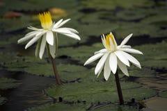 lillies water white arkivbilder