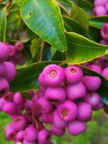 Lillipilli berries. And leaves Stock Photo