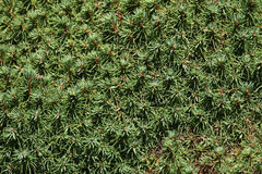 Lilliput white spruce (Picea glauca) texture Royalty Free Stock Images