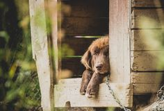 Lillte brown dog lying outdoors in his wooden doghouse. Lillte fluffy brown dog lying outdoors in his wooden doghouse Stock Photo