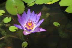 lilly一朵莲花或水在水中 库存照片